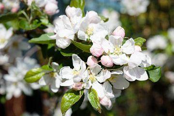 Apfelblüte von Els Broers