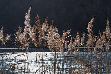 Schilffedern in einer Winterlandschaft von tiny brok