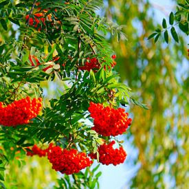 Volledig fruit van Peter Norden
