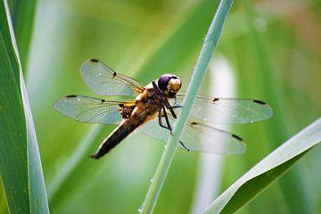 Insecten - Viervlek van Margreet Boersma