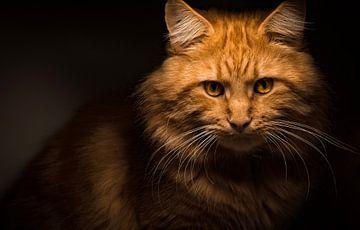 Rode Maine Coon kat starend in de camera van