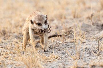 Meerkat with baboon spider von Simone Janssen