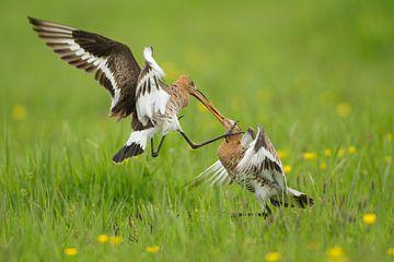 Schwarzschwanzgötter kämpfen im Polder. von Jeroen Stel