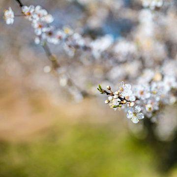 Kirschfrühling von thePhilograph