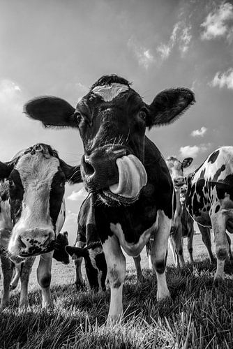 Koeien in de wei in de zomer in zwart wit van Sjoerd van der Wal
