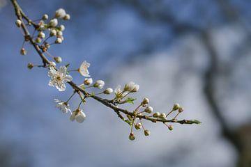 Prunier cerise en fleurs (Prunus cerasifera) avec de petites fleurs blanches au printemps ou à Pâque