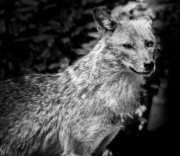 Tiere | Wolf (II) von Sylvana Portier