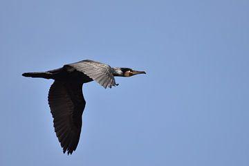 Aalscholver vliegend blauwe lucht sur Sascha van Dam