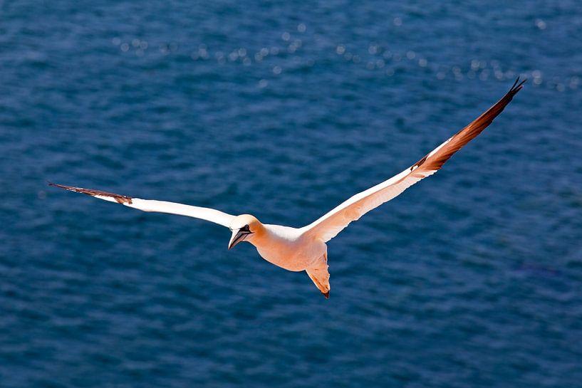 Vliegende Jan van Gent op Helgoland van Anton de Zeeuw