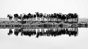 Kühe in einer Reihe (schwarz/weiß)