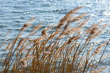 Trockenes Schilf im Wind am Seeufer, ausgewählter Schwerpunkt von Maren Winter