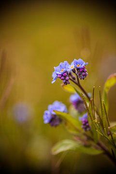 blau Vergissmeinnicht Blume gegen verblassten grünen Hintergrund von Margriet Hulsker