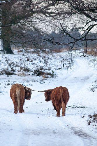 Schotse Hooglander in de sneeuw, Deelerwoud