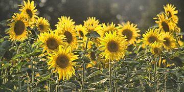Sonnenblumen-Studien-002-7035 von Peter Morgenroth