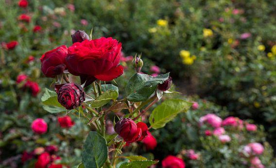 veld met oud rood rode rozen