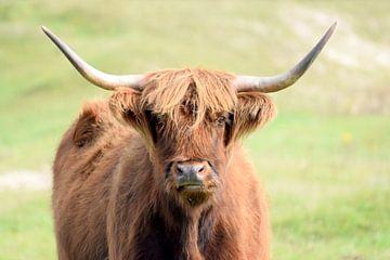 Schottischer Highlander in den Dünen von Nicolette Vermeulen