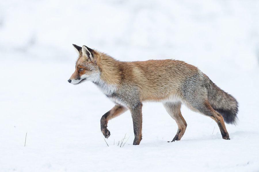Vos lopend over de sneeuw van Menno Schaefer