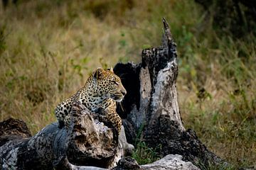 Ruhender Leopard von Andreas Jansen