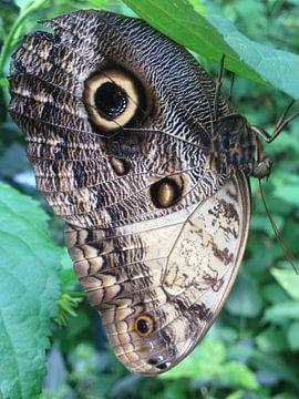 pauwoog vlinder von John Schouwink