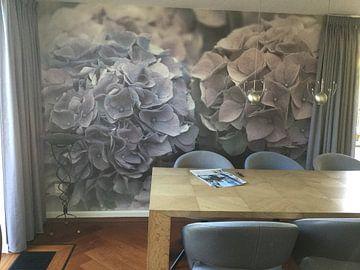 Kundenfoto: Hortensia  von Mrs van Aalst