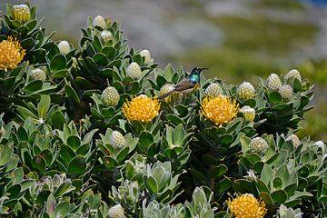 Sunbird honingzuiger von Susan Dekker
