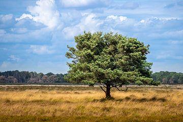 Solitaire boom in een Nederlands heidelandschap van Henk Van Nunen