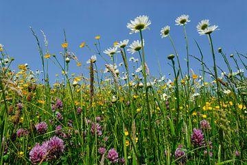 Bloemenweide met margrieten, boterbloemen en klaver von Martin Stevens
