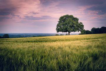 Die alte Eiche im Feld - Ein Sommerabend im Münsterland von Steffen Peters