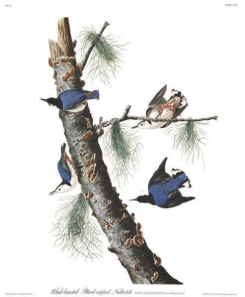 Witborstboomklever van Birds of America
