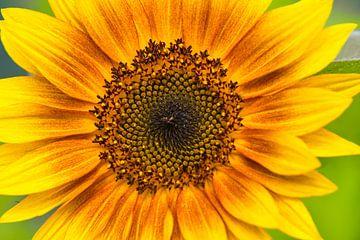 Goudgele zonnebloem van J..M de Jong-Jansen