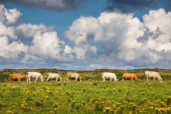 Zeven koeien op een rij