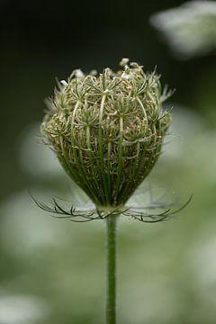 Wilde peen bol (Daucus Carota) close up. Als de wilde peen is uitgebloeid vorm hij een bol. van KB Design & Photography (Karen Brouwer)