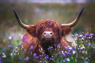 Schotse Hooglander met distels van Andre Brasse Photography