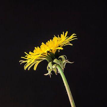Yellow dandelion sur Ramona Stravers