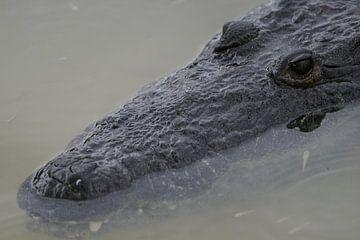 krokodil van Barry van Strien