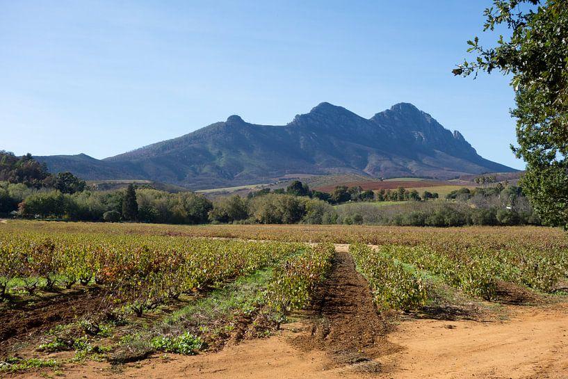 Wijngaard bij Stellenbosch, Zuid-Afrika van Ron Poot
