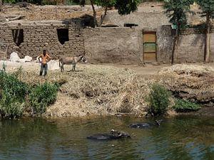 'Waterbuffels', Luxor- Egypte