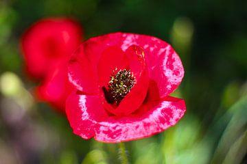 Rote Mohnblume von Sabine DG