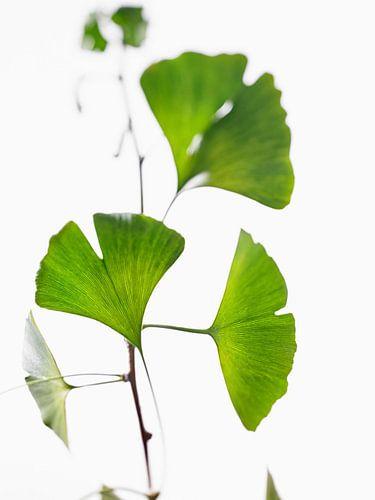 Ginkgo leavesk