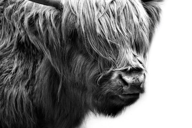 Schottisches Hochland Rind von Claudia Moeckel