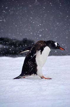 Gentoo pinquïn in strijd met de elementen. sur Mignon Goossens