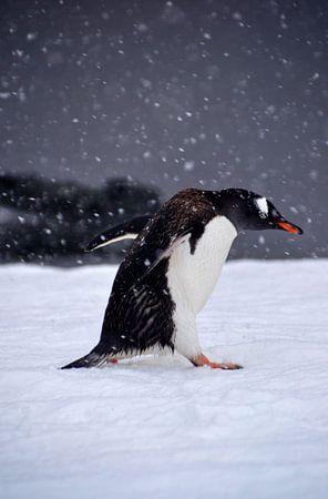 Gentoo pinquïn in strijd met de elementen.