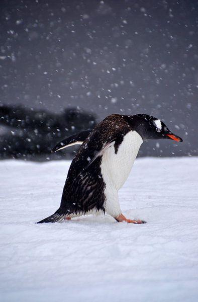 Gentoo pinquïn in strijd met de elementen. van Mignon Goossens
