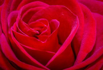 Rose of love sur Mario Brussé Fotografie