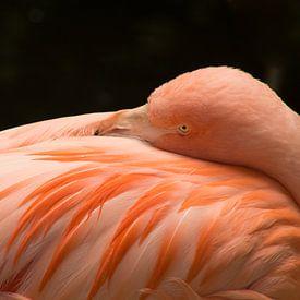 Flamingo neemt een moment rust van Stedom Fotografie