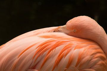 Flamingo nimmt sich einen Moment Zeit, um sich auszuruhen. von Stedom Fotografie