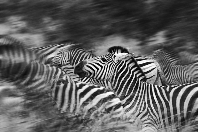 Zebra's running van Jojanneke Vos