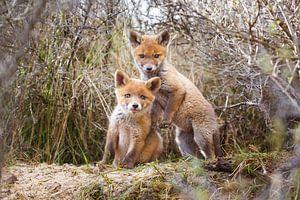 twee jonge vossen