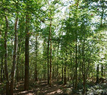 Sonnenlicht, das durch den Wald scheint von Wim vd Neut