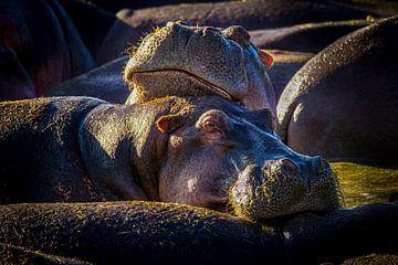 Knuffelende nijlpaarden van Erwin Floor